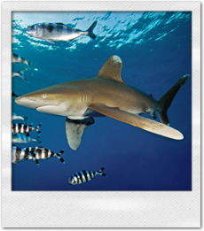 Red Sea Oceanic Whitetip