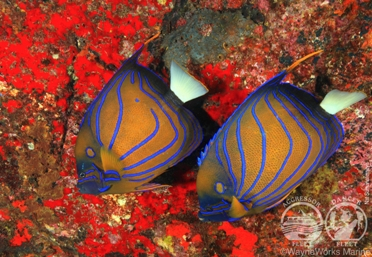 Thailand Blue Ring Angelfish